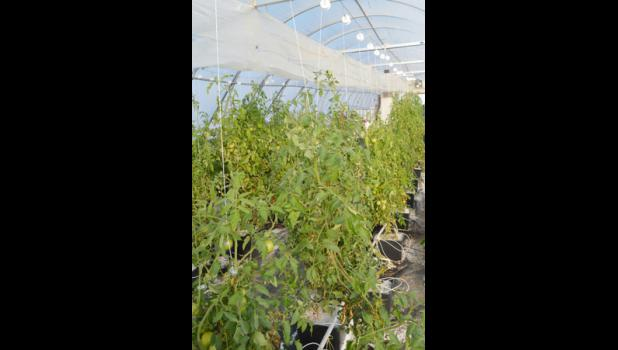 Three rows of tomato plants stretch over six feet in the air. With proper care, these plants can continue to produce for 12 to 18 months.